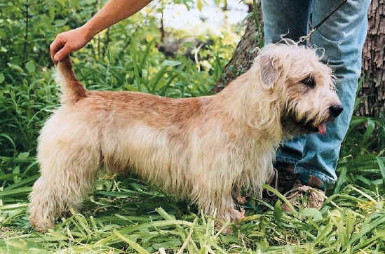 "Baileborough Prince, ""Otto"" - Glen of Imaal Terrier"